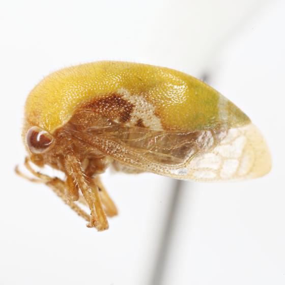 Vanduzea segmentata (Fowler) - Vanduzea segmentata - female
