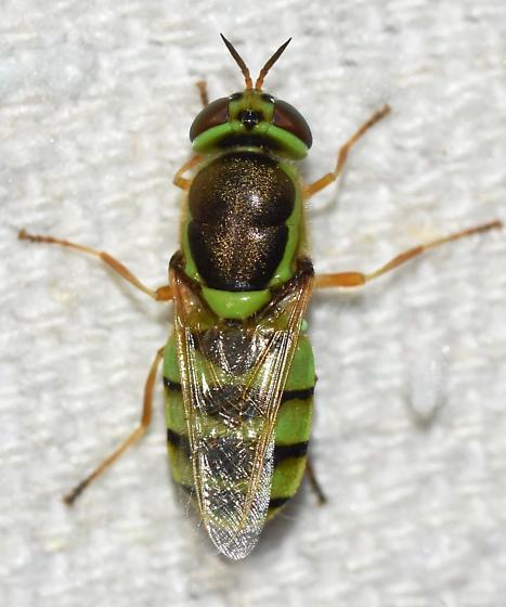 Green bee or fly?   - Odontomyia cincta - female