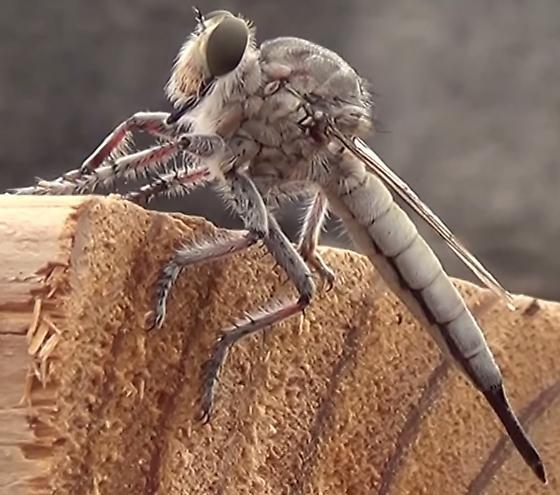 Desert Robber Fly - Efferia - female