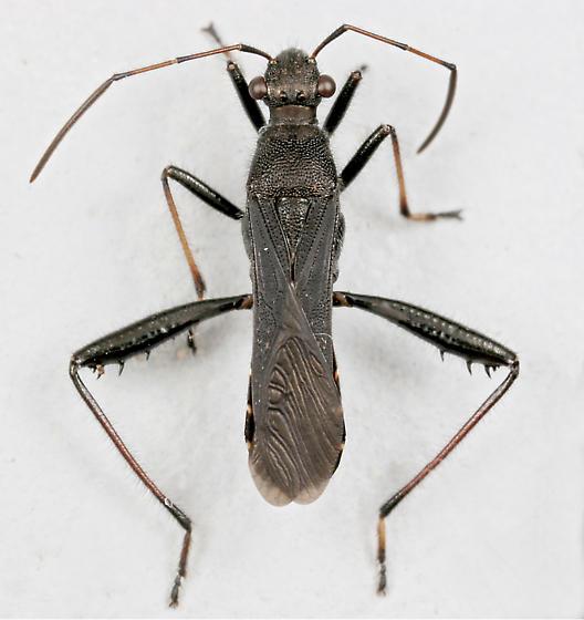 BG1291 D1377 - Alydus eurinus