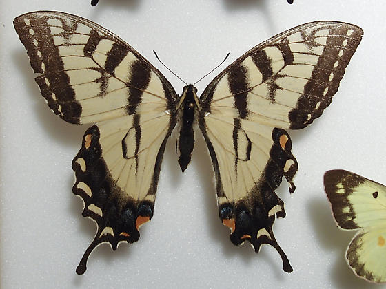 Papilio glaucus, Eastern Tiger Swallowtail - Papilio glaucus - female