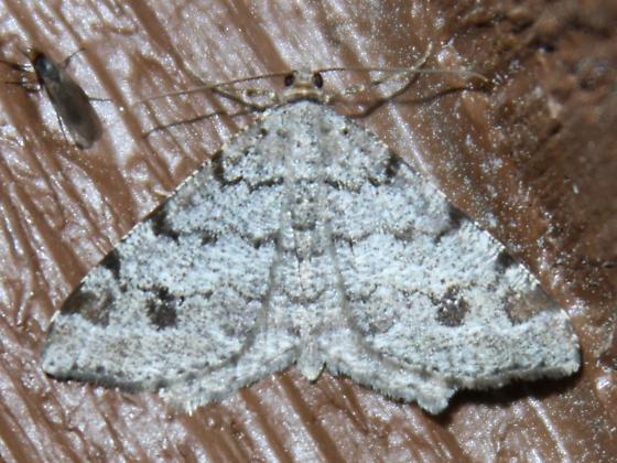 6347 White Pine Angle (Macaria pinistrobata) - Macaria