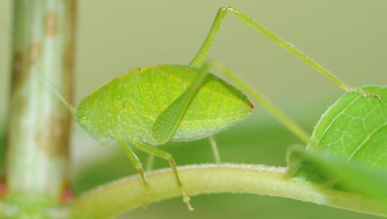 Angle-wing Katydid Nymph - Microcentrum - male