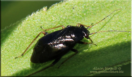 Unknown - Slaterocoris breviatus