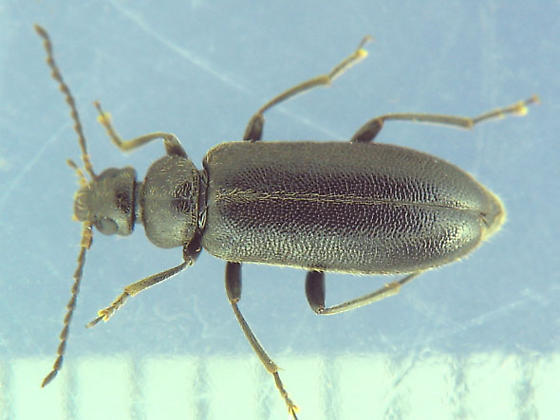 Black beetle from motel pool - Pedilus lugubris