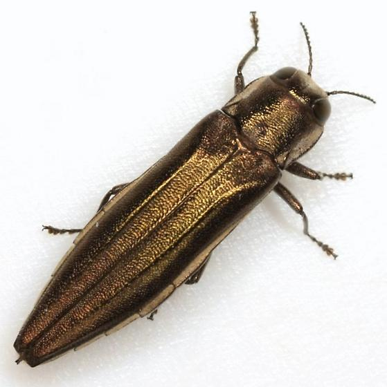 Agrilus macer LeConte - Agrilus macer