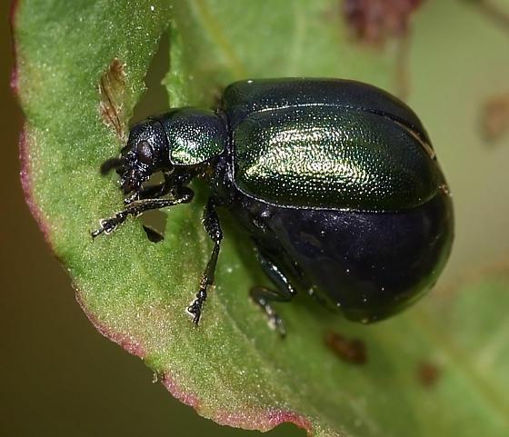 Leaf Beetle - Gastrophysa cyanea - female