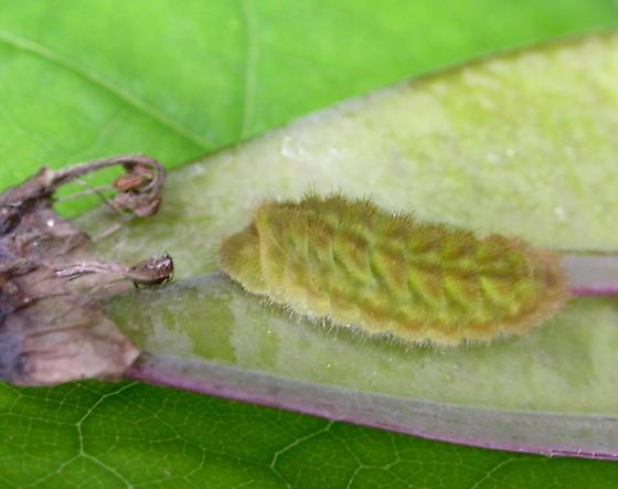 Gray Hairstreak Caterpillar - Strymon melinus
