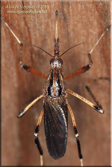 Culicidae - Psorophora ciliata - female