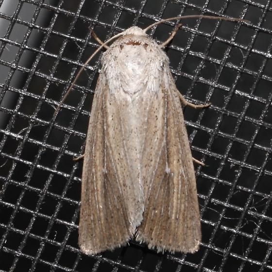 Leucania extincta