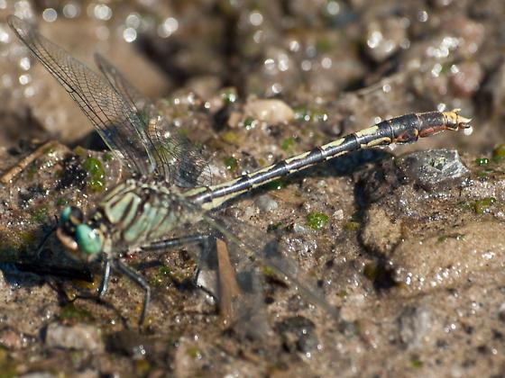 Clubtail? - Arigomphus villosipes