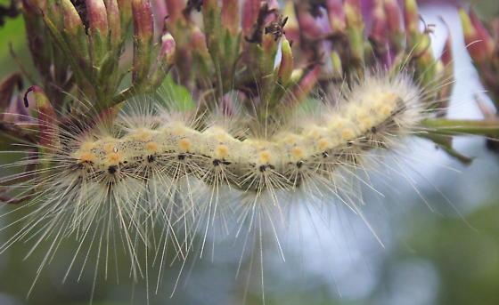 Fall webworm - Hyphantria cunea