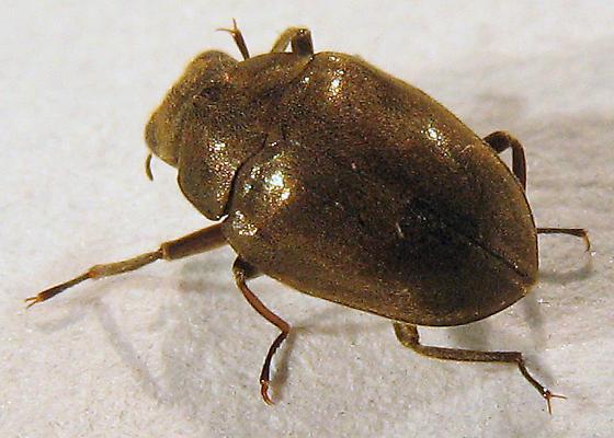 Travertine beetle - Lutrochus laticeps