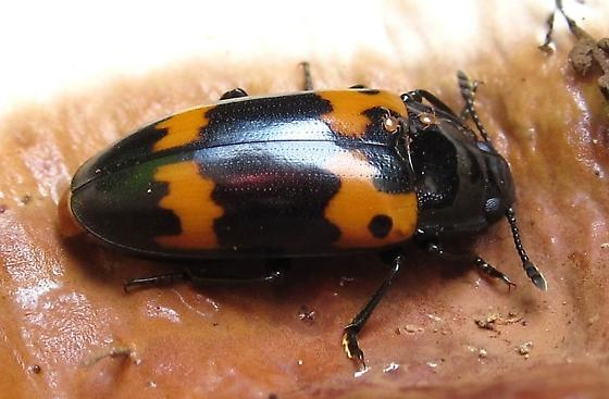 Four-spotted Sap Beetle? - Megalodacne fasciata