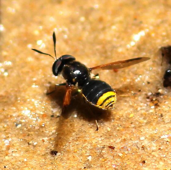 Hoplitimyia mutabilis? - Hoplitimyia mutabilis - male