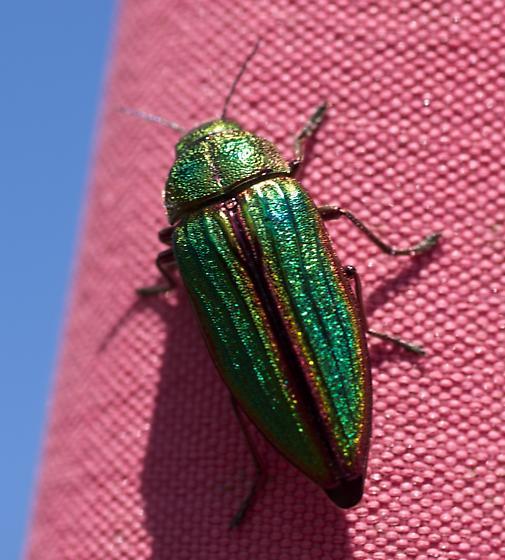 Iridescent Green Beetle - Buprestis aurulenta