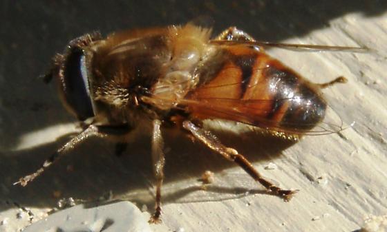 Drone Fly - Eristalis tenax - male