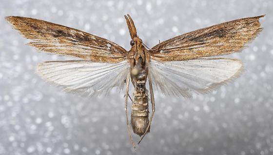 Donacaula - Donacaula n-sp-four - female