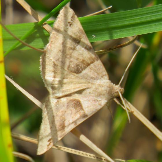 Clover Looper (Caenurgina crassiuscula) Gensburg - Markham Prairie Cook County IL September 2014 Jeff Skrentny IMG_0475 - Caenurgina