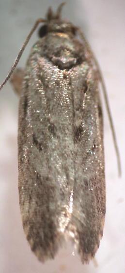Gelechiidae - Chionodes pereyra - male