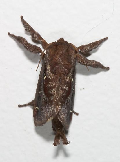 Saddleback Caterpillar Moth - Acharia stimulea - male