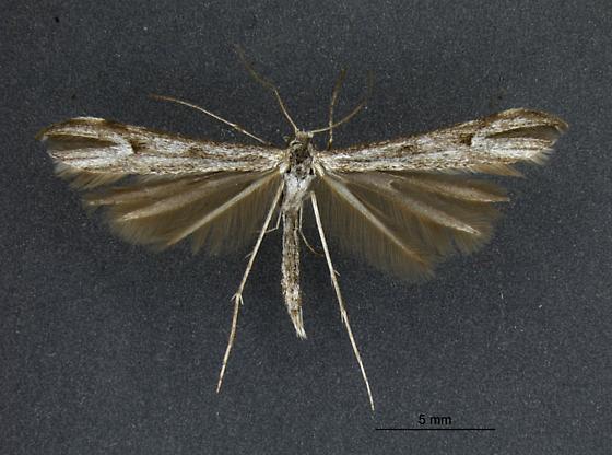Oidaematophorus - male