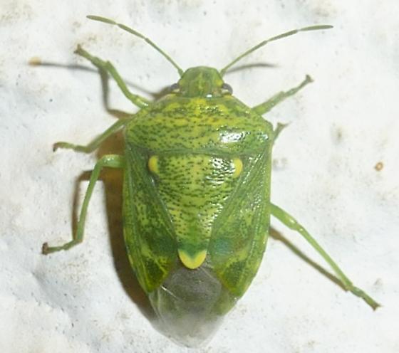 Green Stink Bug - Banasa euchlora