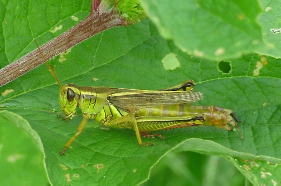 Grasshopper - Melanoplus bivittatus - female