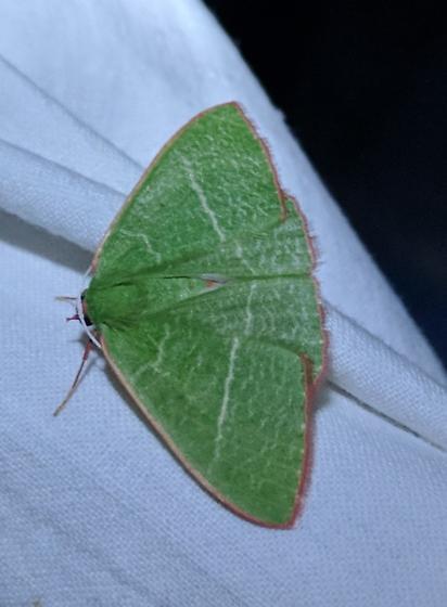 Nemoria species? - Nemoria leptalea - female