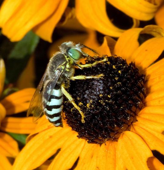 Black and Grey Bee..? - Bembix