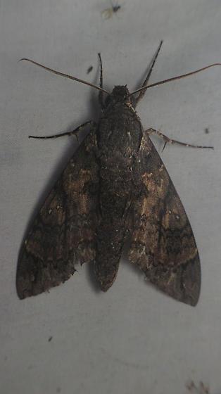 Cocytius antaeus - male