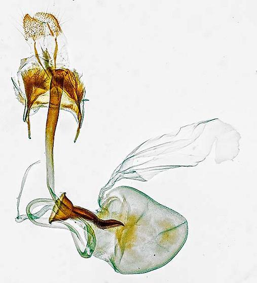 genitalia - Aplocera plagiata - female