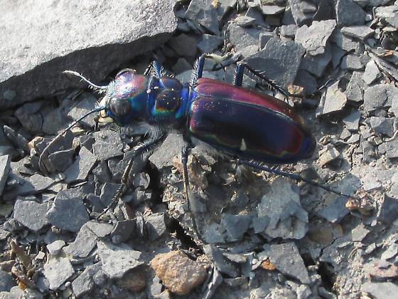 Cicindela pulchra pulchra - Cicindela pulchra - female