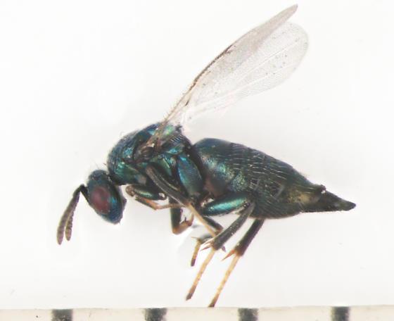 Ormyridae, ex Antistrophus laciniatus, lateralX - Ormyrus - female