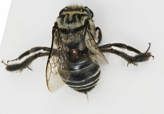 Bee - Melitoma taurea - female