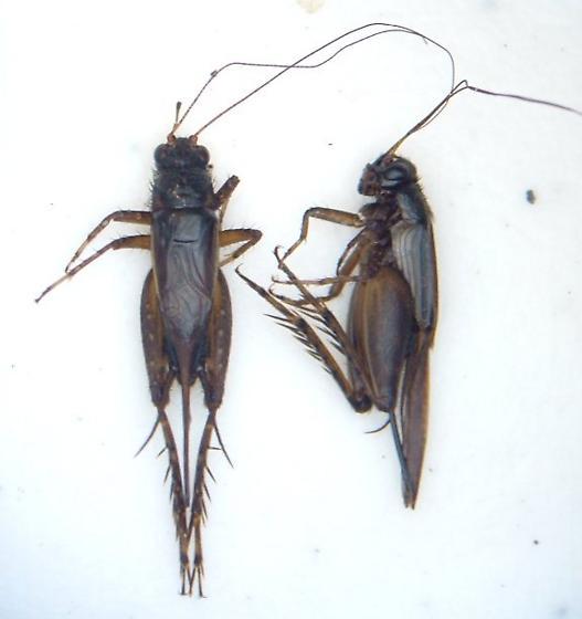 Cricket 02 - Allonemobius socius - male - female
