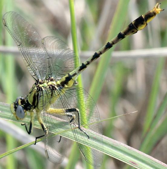 Stillwater Clubtail - Arigomphus lentulus - male