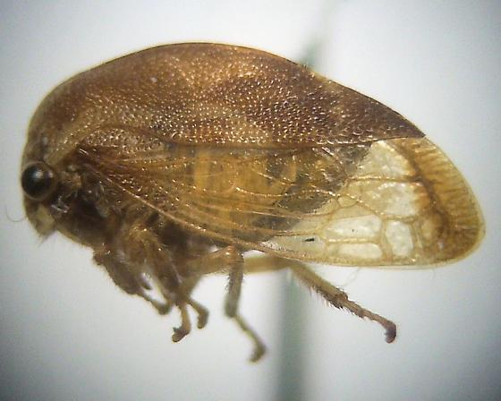 Cyrtolobus flavolatus - female