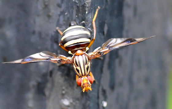 Fancy Fly - Idana marginata