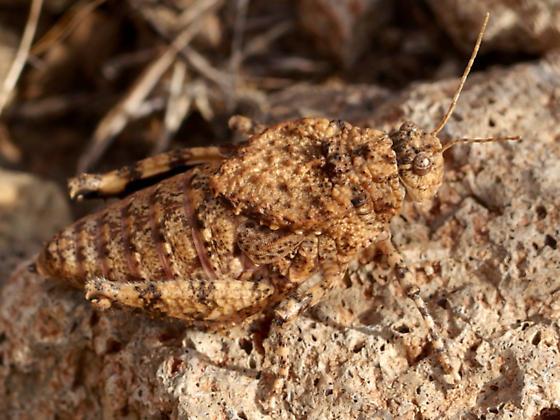 Phrynotettix tshivavensis? - Phrynotettix tshivavensis - female