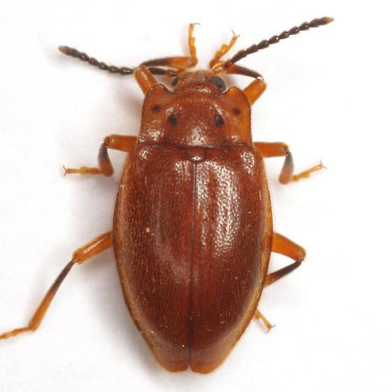 Epipocus opacus Strohecker - Epipocus opacus
