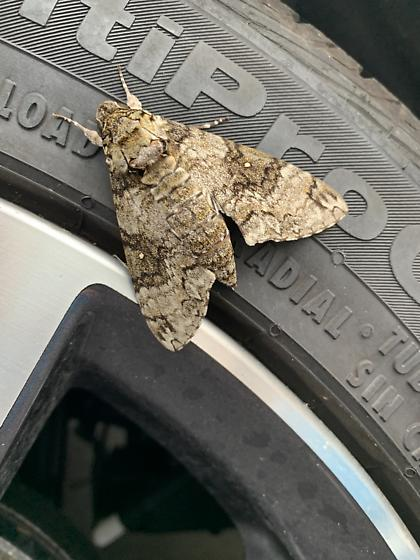 Sphinx Moth? - Manduca brontes