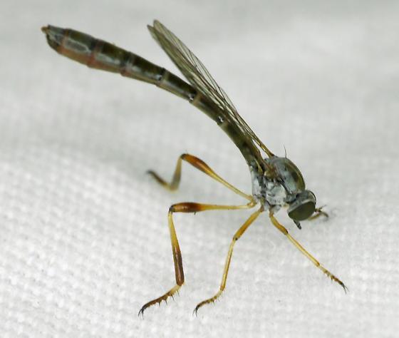 Strange Fly - Leptogaster