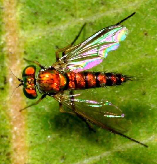 Long-legged fly: Condylostylus? - Condylostylus caudatus - male