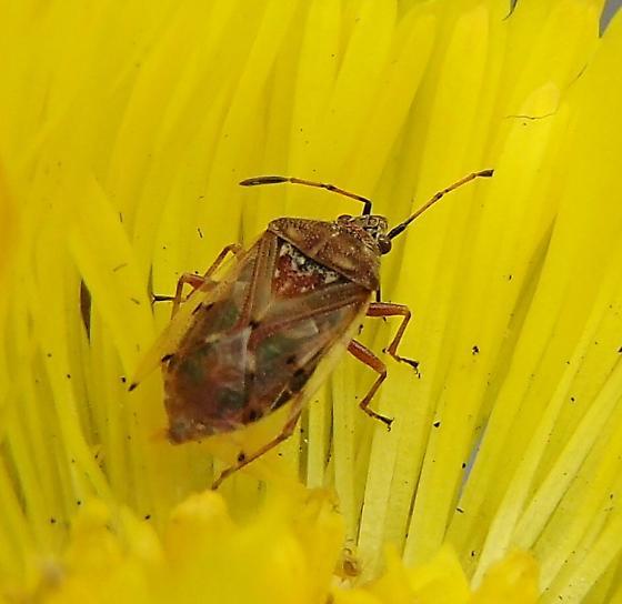 Bug - Kleidocerys resedae