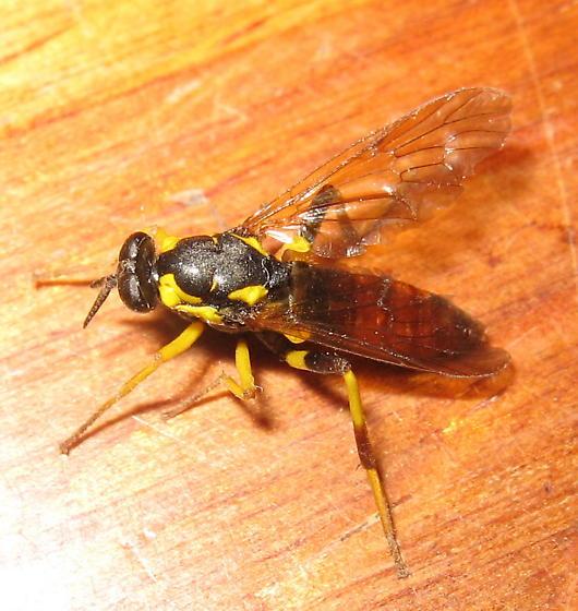 Syrphidae 05a - Xylomya parens
