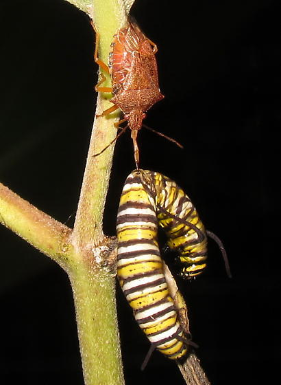 spined soldier bug?  - Podisus