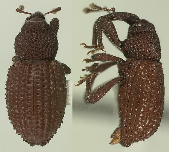 Anchonus blatchleyi Sleeper - Anchonus blatchleyi