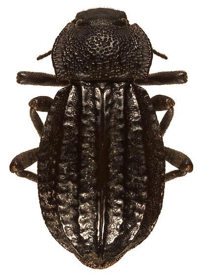 Tenebrionidae - Philolithus sordidus