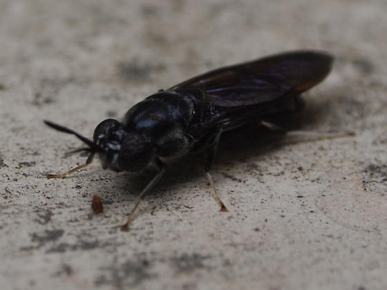 Wasp or Fly - Hermetia illucens